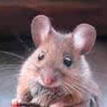 Exterminación de Ratas