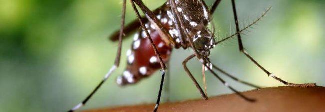 Conoce más de cerca al Mosquito Tigre