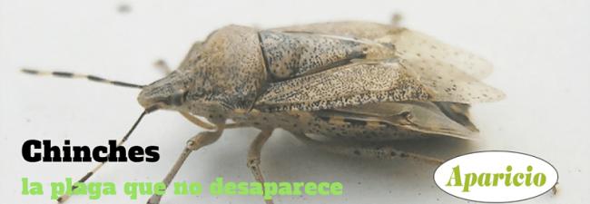 Chinches: la plaga que no desaparece