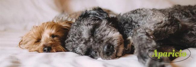¿Qué hago si mi perro tiene pulgas o hay pulgas en casa?